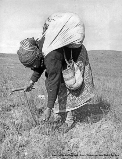 Woman from the Colville tribe in the PNW collecting bitterroot.