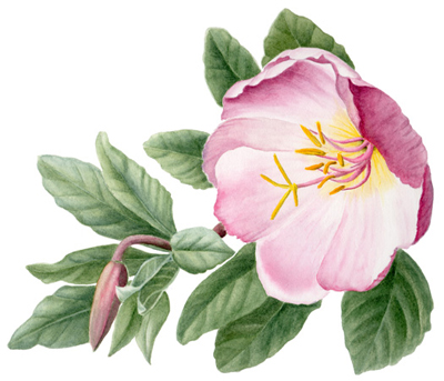 This plant helps women stay in balance through menopause and uterine problems, like fibroids and cysts. It also helps diminish hot flashes.