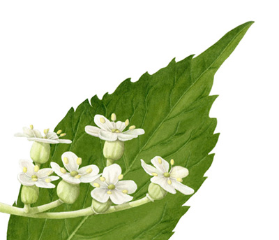 The elderberry blossom is good for colds and flu. It's sold at the drug store as Sambucol.